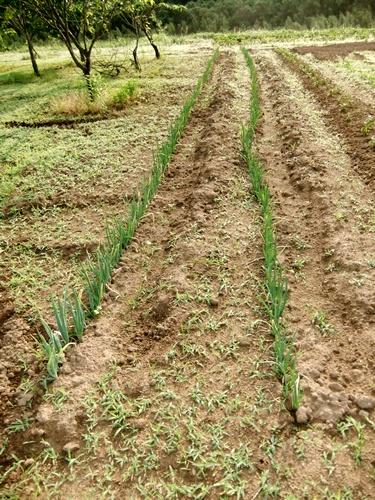 2012.6.1 初夏の野菜畑(第2回) 037 (35)