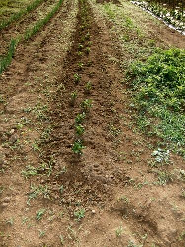 2012.6.1 初夏の野菜畑(第2回) 037 (34)