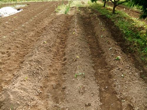 2012.6.1 初夏の野菜畑(第2回) 037 (33)