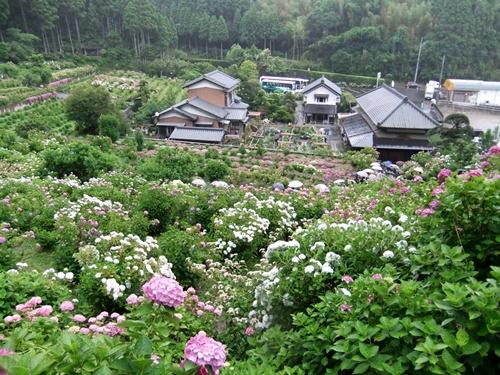 2012.6.16 服部農園のアジサイ 059 (5)