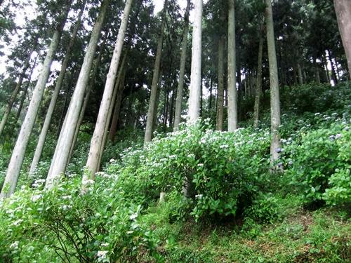 2012.6.16 服部農園のアジサイ 059 (10)