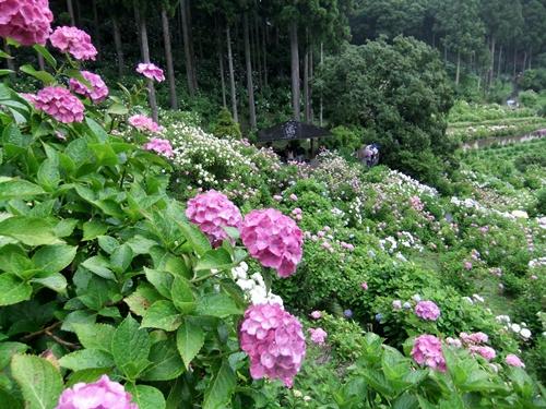 2012.6.16 服部農園のアジサイ 059 (6)