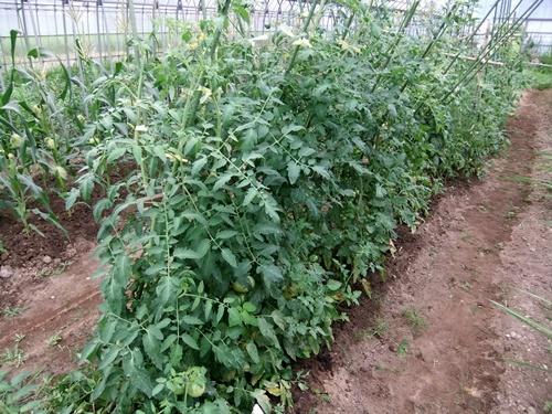 2012.7.21 梅雨明け後の野菜たち 004