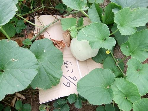 2012.7.21 梅雨明け後の野菜たち 012