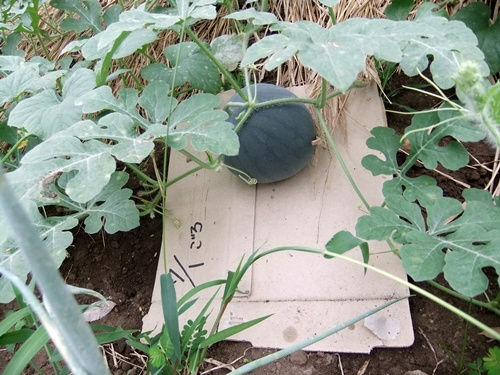 2012.7.21 梅雨明け後の野菜たち 011