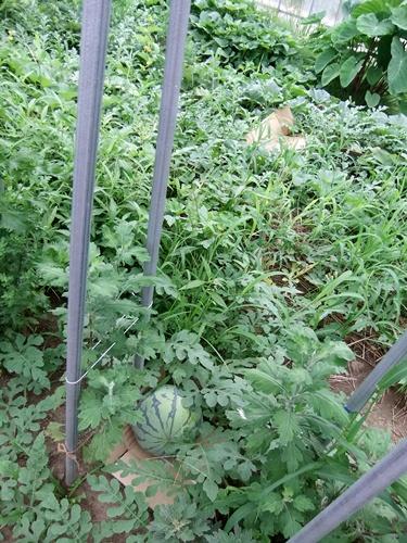 2012.7.21 梅雨明け後の野菜たち 009