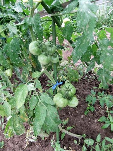 2012.7.21 梅雨明け後の野菜たち 007