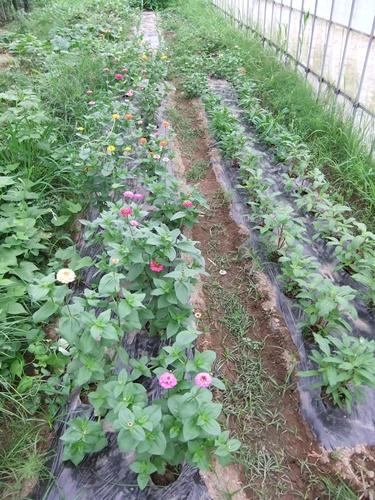 2012.7.21 梅雨明け後の野菜たち 016