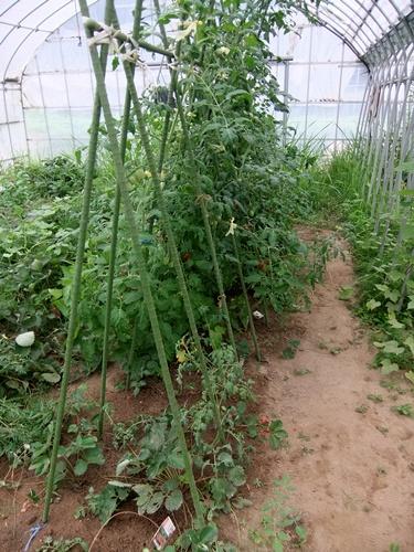2012.7.21 梅雨明け後の野菜たち 014