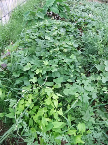 2012.7.21 梅雨明け後の野菜たち 022