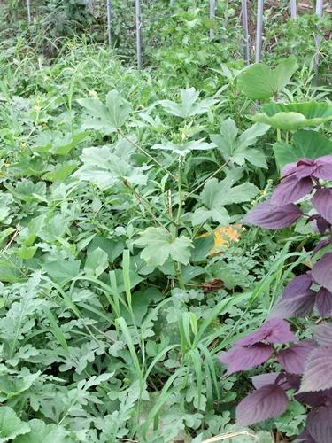 2012.7.21 梅雨明け後の野菜たち 019