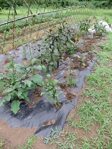 2012.7.21 梅雨明け後の野菜たち 029