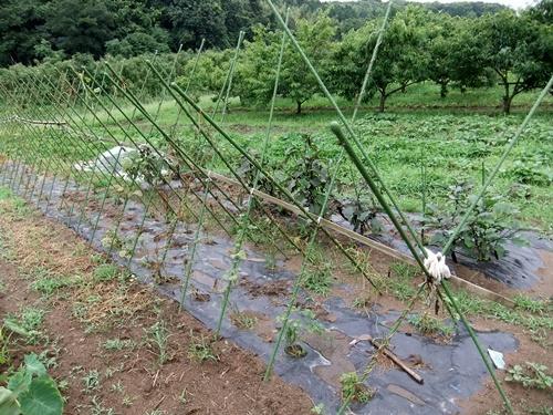 2012.7.21 梅雨明け後の野菜たち 028