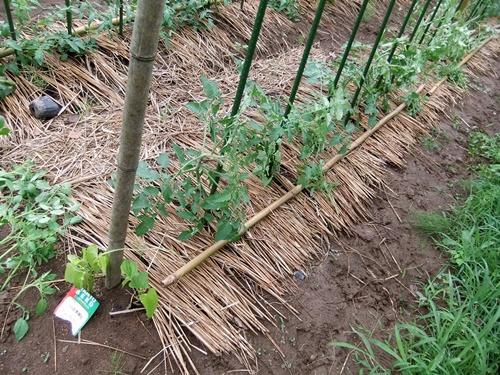 2012.7.21 梅雨明け後の野菜たち 038