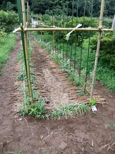 2012.7.21 梅雨明け後の野菜たち 036