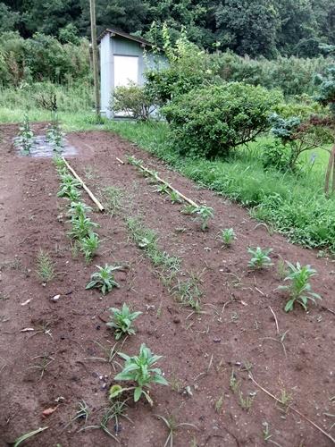 2012.7.21 梅雨明け後の野菜たち 040