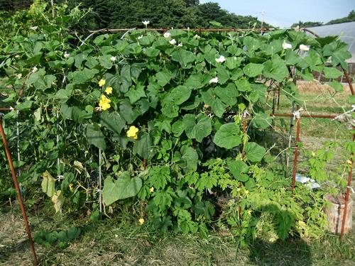 2012.7.26 元気な野菜(ひょうたん) 031 (2)