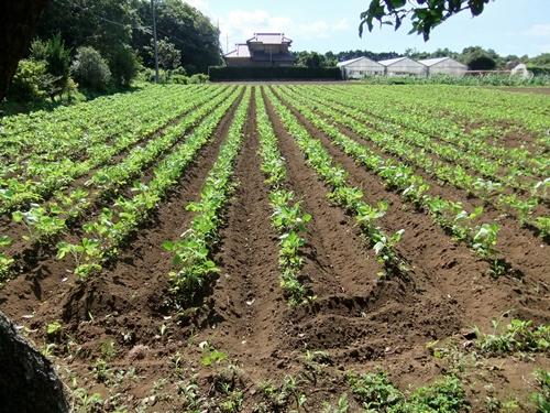 2012.7.31 ファーマーズの大豆畑 002