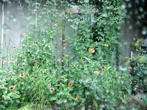 2012.8.18 雨の庭 018 (1)