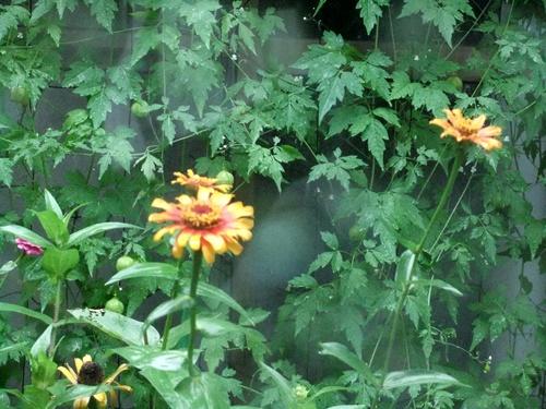 2012.8.18 雨の庭 018 (2)