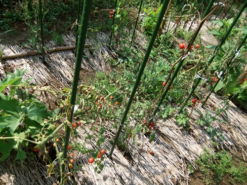 2012.9.7 9月初めの野菜畑 012 (2)