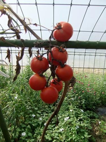 2012.9.12 9月の野菜・果樹 050 (3)