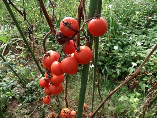 2012.9.12 9月の野菜・果樹 050 (2)