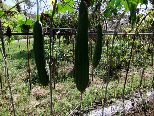 2012.9.12 9月の野菜・果樹 050 (10)