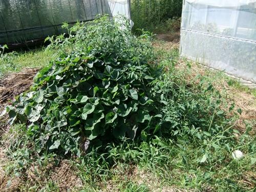 2012.9.12 9月の野菜・果樹 050 (24)
