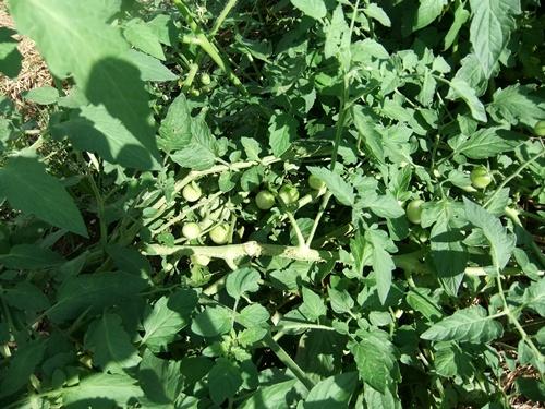 2012.9.12 9月の野菜・果樹 050 (30)