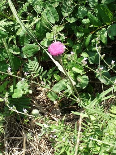 2012.9.29 稲刈り時の野の花 035 (3)
