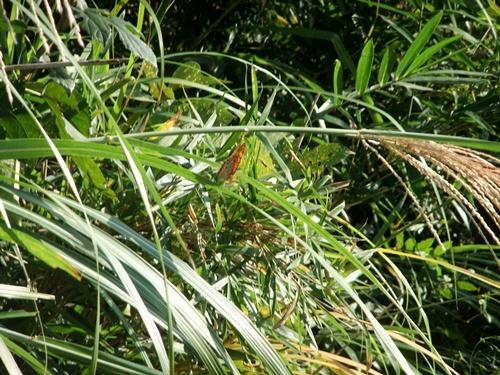 2012.9.29 稲刈り時の野の花 035 (2)