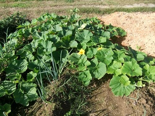 2012.10.10 秋の野菜畑 035 (26)
