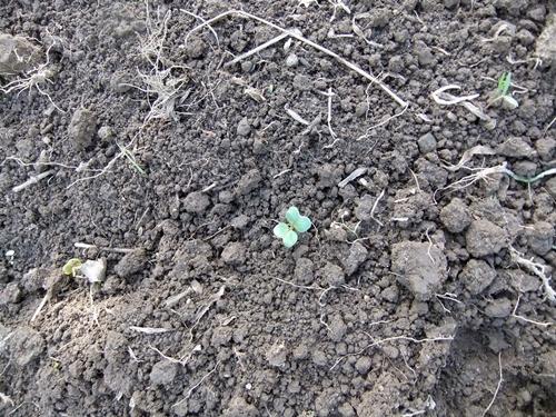 2012.10.10 秋の野菜畑 035 (25)