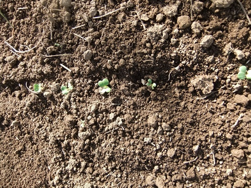 2012.10.10 秋の野菜畑 035 (22)