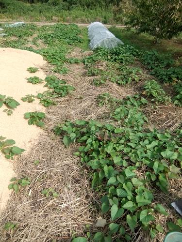 2012.10.24 秋の畑作 036 (7)