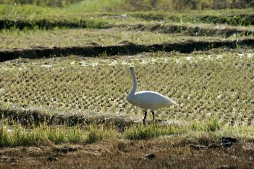 2012.10.29 秋に飛来した白鳥 015