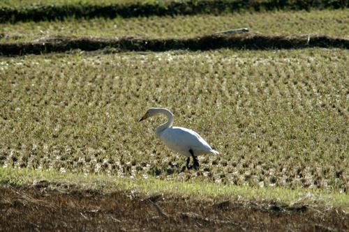 2012.10.29 秋に飛来した白鳥 005