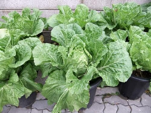2012.11.7-8 韓国旅行 (野菜)001 (87)