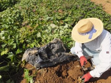 さつま芋掘り延期