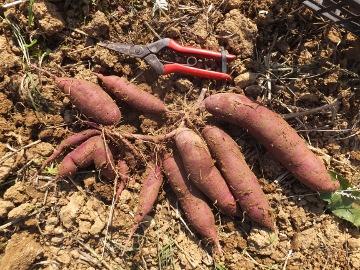 さつま芋掘り延期3