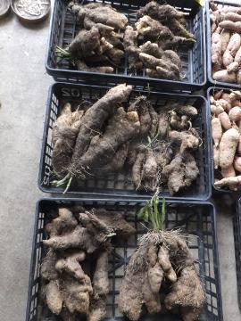 つくね芋収穫2