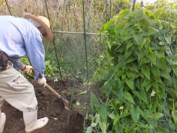 つくね芋収穫5