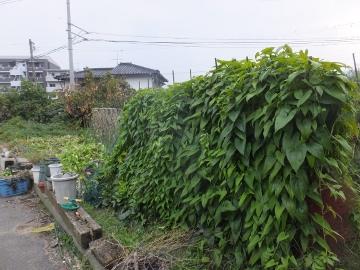 つくね芋収穫7