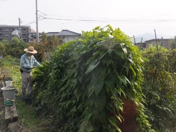 つくね芋収穫10
