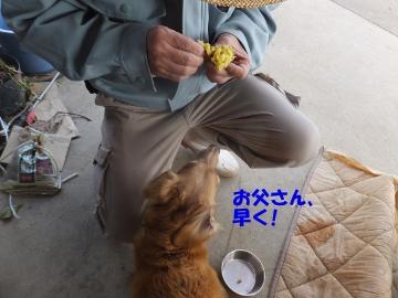 つくね芋収穫13