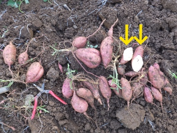 さつま芋掘り、キズ物増える?2