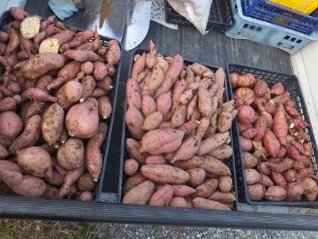 さつま芋掘り、キズ物増える?4