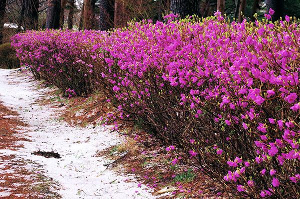 臼木山のゲンカイツツジと雪