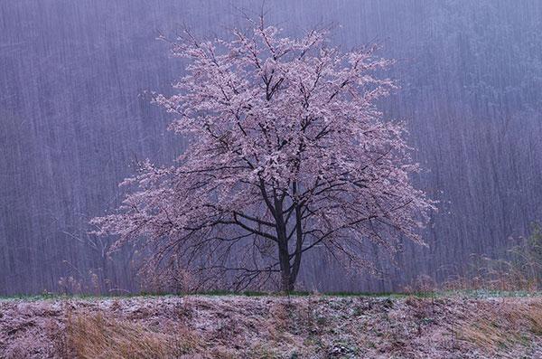 宮古市腹帯の桜と雪